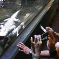 Visitors take photos of an albino Mississippi alligator at iZoo in the town of Kawazu, Shizuoka Prefecture, Aug. 7. | KYODO