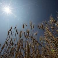 More than 65.5 percent of the nation's wheat is grown in Hokkaido. | BLOOMBERG