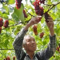 Grape expectations: Grapes are especially sensitive to changes in climate, which can lead to abnormal coloration. | KYODO
