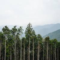 Cedar trees between Hongu Taisha and Totsukawa Onsen | DAN RUBIN