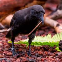 A captive Hawaiian crow carries a stick tool to a log with food hidden in holes. | REUTERS