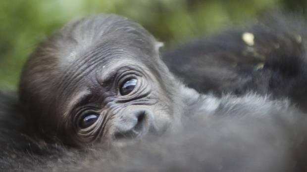 Philly zoo debuts baby gorilla, plans naming contest once gender is known