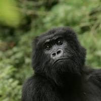 IUCN adds eastern gorilla, the largest primate, to critically endangered list