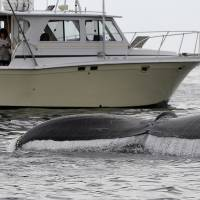 Boaters watch a humpback whale breach off the coast of Gloucester, Massachusetts, in August 2012. | AP
