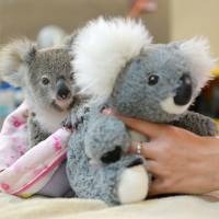 Orphaned Koala clings to fluffy toy after mother killed on road