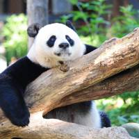 China's giant pandas pulled from 'endangered' list but warming threatens habitat