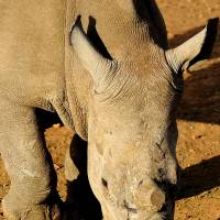 In U.S. first, San Diego Zoo burns $1 million worth of rhino horns to spotlight poaching threat