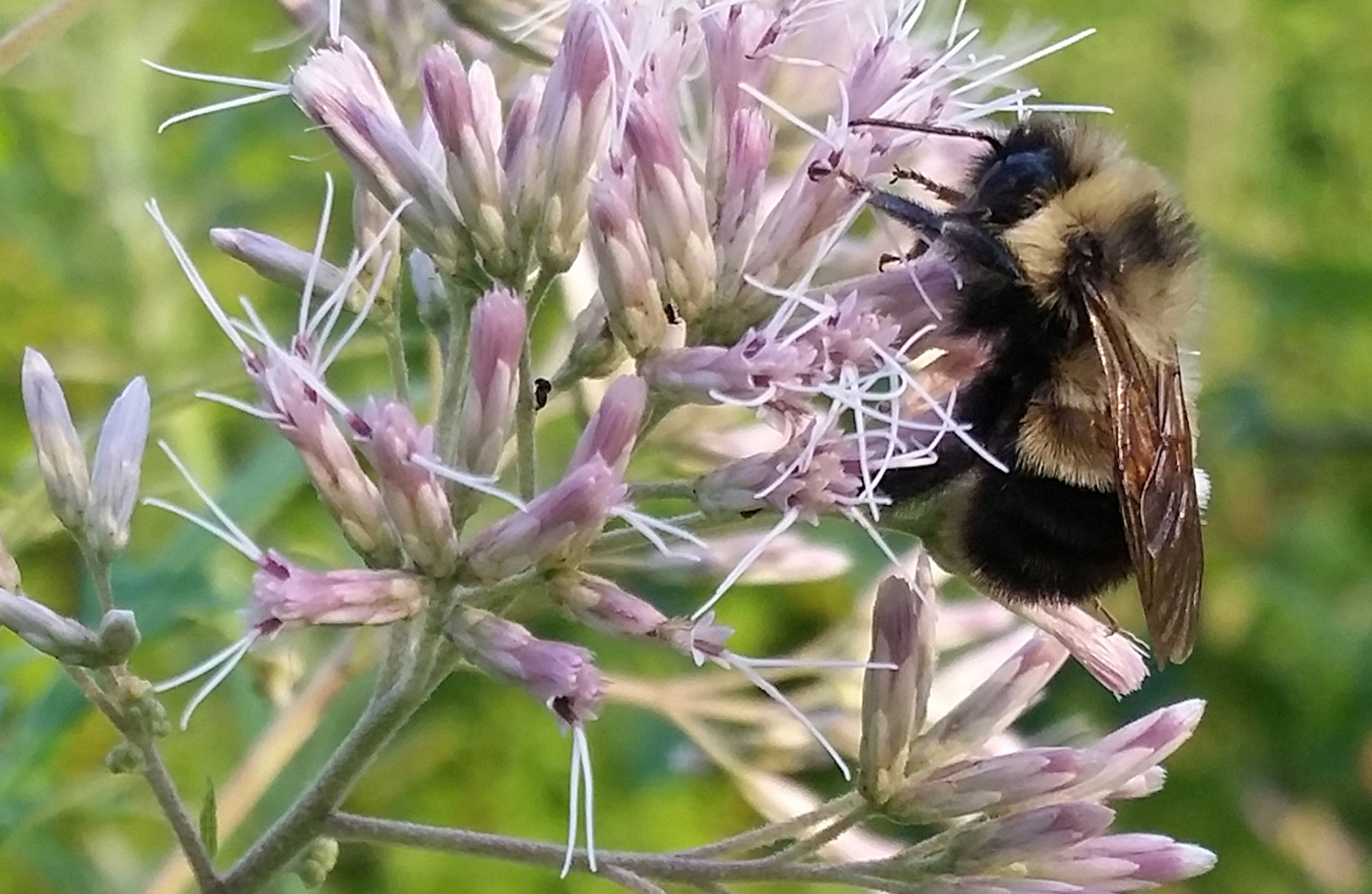A rusty patched bumble bee forages in Madison, Wisconsin. | RICH HATFIELD / VIA REUTERS