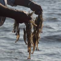 A fisherman holds shrimp that were caught with a net near Dautillos, Mexico, on Sept. 30. | BLOOMBERG