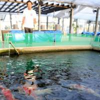 Several nishikigoi, a decorative variety of carp that has grown popular overseas, swim in a breeding pool at Narita Koi Farms Japan in Aichi Prefecture. | CHUNICHI SHIMBUN