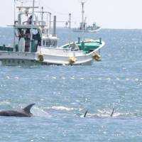 Season's first dolphins killed in annual hunt