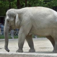 Tokyo's Ueno Zoo reports first Asian elephant pregnancy