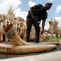 A conduit to China, Japan dodges pressure to ban ivory sales