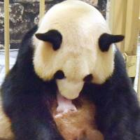 Giant panda Rauhin holds her female cub just after giving birth at the Adventure World zoo amusement park on Sunday. | KYODO