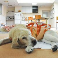 An elderly guide dog rests in retirement at a care facility for aged dogs in Sapporo in May. | KYODO