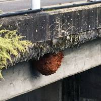A hornet's nest is seen hanging from a bridge in the city of Hida, Gifu Prefecture, on Saturday. Over 100 runners taking part in a marathon event were stung by the insects. | HIDA MUNICIPAL GOVERNMENT/ VIA KYODO