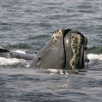 Entanglements hinder rare whale's recovery
