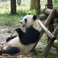 Eats shoots, rarely breeds: Pandas still at risk