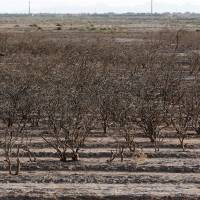 Iran's pistachio farms are dying of thirst