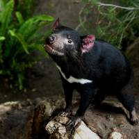 Tasmanian devils pull back from brink of extinction