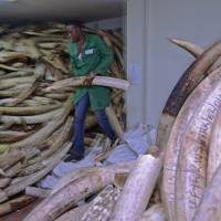 CITES ivory trade vote bares divisions on saving elephant; 300 kg of tusks seized in Hanoi