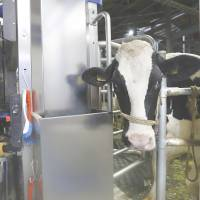 A cow stands by a DeLaval Inc. milking system at the farm. The business has made use of ultralow borrowing costs. | BLOOMBERG