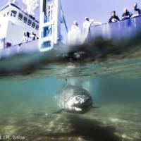 Researchers confirm great white shark 'nursery' off Long Island