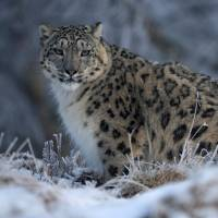 A snow leopard walks in its enclosure at the RZSS Highland Wildlife Park near Kincraig, Scotland, in February 2016. | REUTERS