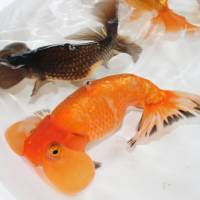 Japanese goldfish experts explore use of bubble eyes in medicine