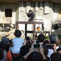 Led by Shabani, gorillas challenge koalas for popularity title at Nagoya zoo