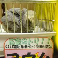 A gray parrot is on sale at a pet shop in Osaka Prefecture in June. | JAPAN WILDLIFE CONSERVATION SOCIETY / VIA KYODO