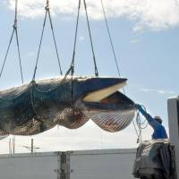 Whaling nations in crosshairs at IWC's biennial huddle