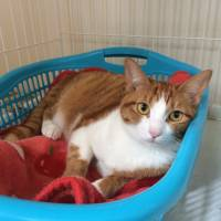 Safe with you: a tabby cat named Utsumu