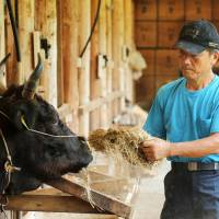 A farmer gives cattle feed to a wagyu beef cow at a farm in Yabu, Hyogo Prefecture, in August 2015. | BLOOMBERG