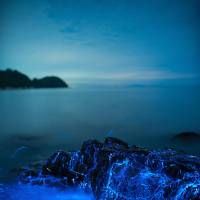 Seasonal lightshow: Sea fireflies are relatively common on sandy beaches in the Seto Inland Sea throughout summer. | PHOTOS BY TREVOR WILLIAMS, TIM CLEMINSON, JONATHAN GALIONE