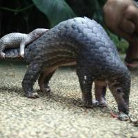 All global trade banned in endangered pangolins