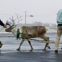 Hokkaido Domino's outlet may tap reindeer to keep pizza delivery deadlines