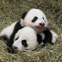 Giant panda twin cubs Fu Feng and Fu Ban, born on Aug. 7, are seen in this handout provided by Schoenbrunn Zoo on Wednesday in Vienna. | DANIEL ZUPANC/COURTESY OF SCHOENBRUNN ZOO / HANDOUT VIA REUTERS