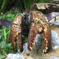 Crustacean crunch: Coconut crab's claw strength equals lion's bite
