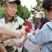 Thrice spared death, Osaka zoo rooster draws crowds looking to get lucky