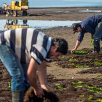 Chile's agar-agar algae is under threat