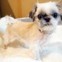 Ittie bittie everything: a shih tzu named Micro