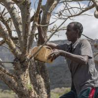Mohamed Ahmed Ali wounds a wild frankincense tree near Mader Moge, in the breakaway Somalian region of Somaliland, on Aug. 4 to make it bleed its prized sap. | AP