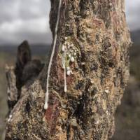 Sap runs out of a frankincense tree near Mader Moge in Somaliland on Aug. 4. | AP