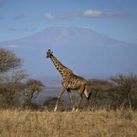 Giraffes suffering a 'silent extinction,' report says