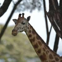 With numbers dwindling, efforts to help giraffes blocked by conflict in Africa