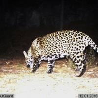 U.S., Mexico officials draft plan to recover population of elusive jaguar
