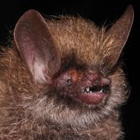 Murina kontumensis, a bat, is pictured in this handout picture. | REUTERS