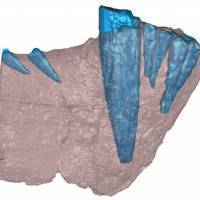 In this CT scan of the front half of the lower jawbone of a saber-toothed beast that prowled Tanzania 255 million years ago, bone is shown in red and the teeth are in blue. This is not the specimen in which odontoma was found; it is included as a representative of what gorgonopsian jaws and teeth looked like. | REUTERS