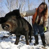 Race to save rare breed of pig hinges on eating them, farmer says
